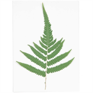 Large fern (1pc) - (flores prensadas)