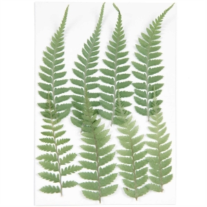 Small fern (8pcs) - (flores prensadas)