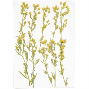 Canadian Fleabane (6pcs) - (flores prensadas)