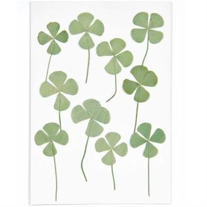 four-leaf clover (10pcs) - (flores prensadas)