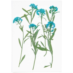Sweet alyssum blue (6pcs) - (flores prensadas)